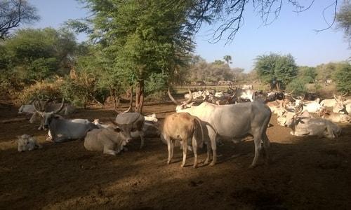 Village d'éleveurs peulhs